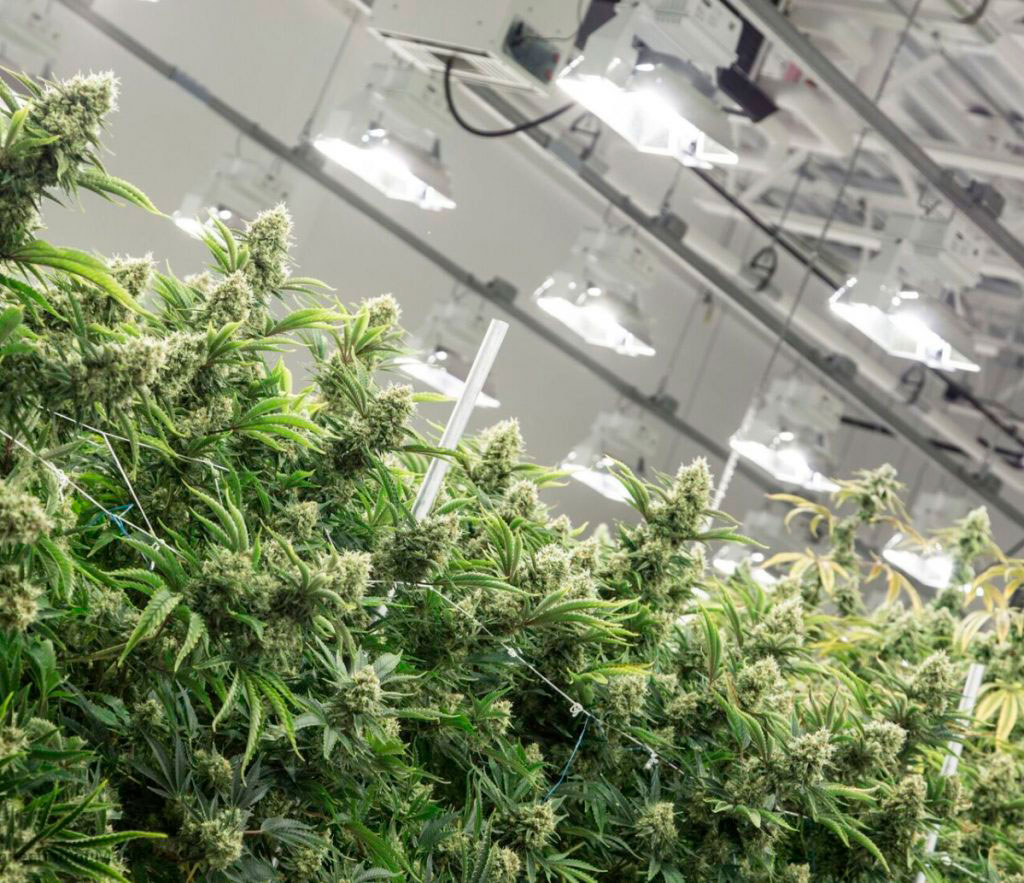 A picture of marijuana plants in a cannabis grow room, climate controlled by a greenhouse dehumidifier.